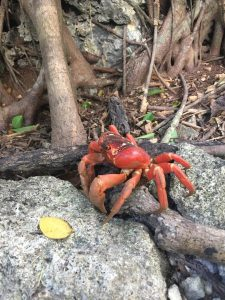 Red crab Christmas Island
