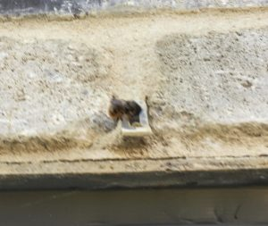 Red mason bee heading for the air vent